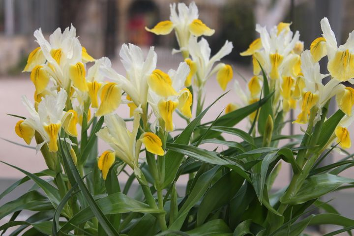 Iris Bucharica