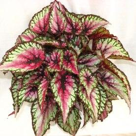 Begonia rex / sursa - http://www.dscolegrowers.com/genus/begonia/begonia-rex