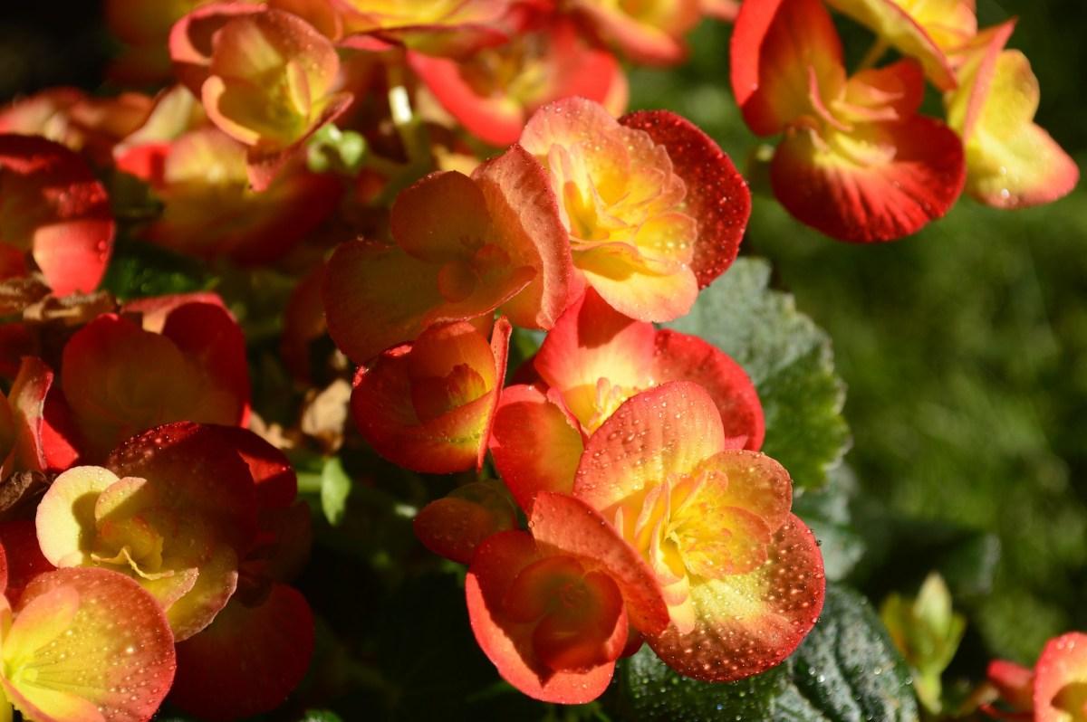 Begonia - origine, îngrijire, simbolistică