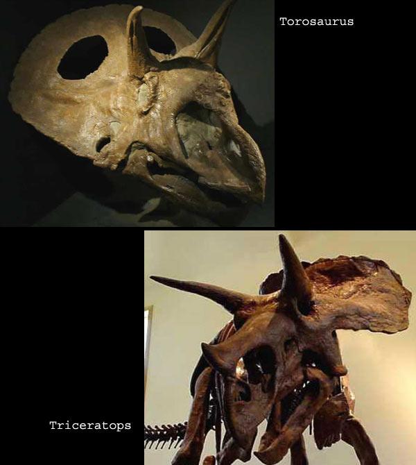 Comparatif Torosaurus et Triceratops