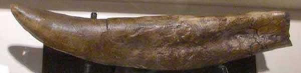 Dent de Tyrannosaure