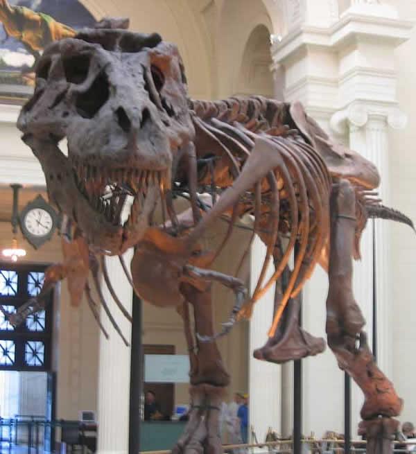 Tyrannosaurus . Squelette de Sue