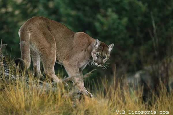 Forest Mountain Lion