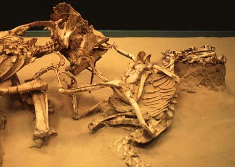 Image result for velociraptor vs protoceratops fossil