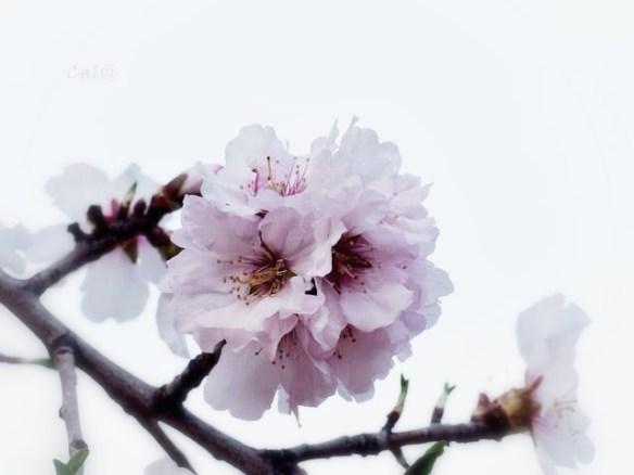 blanco flor rosa