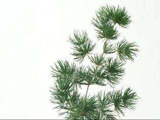 Mini pino o erba verde