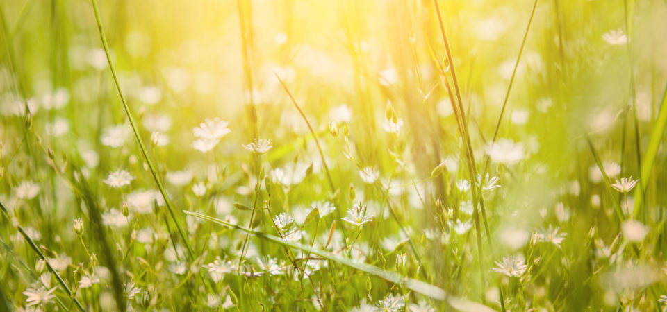 Green grass and little white flowers on the field. Beautiful summer landscape. Soft focus