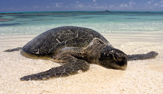 10 Facts about North Cyprus Marine Turtles 5
