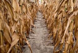 14drought2 blog480 e1342472903166 Negli Usa scoppia la crisi del grano
