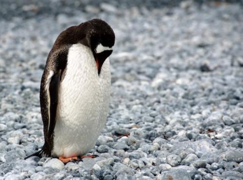 Nel 2005 è stato assegnato un premio Ig Nobel a due scienziati per aver studiato come fanno i pinguini a sparare la loro cacca lontano dal nido