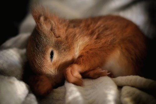 Scoiattolo rosso che dorme