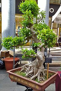 La prova che sapere come fare un bonsai può essere anche redditizio: questo qui costa 1800 euro!
