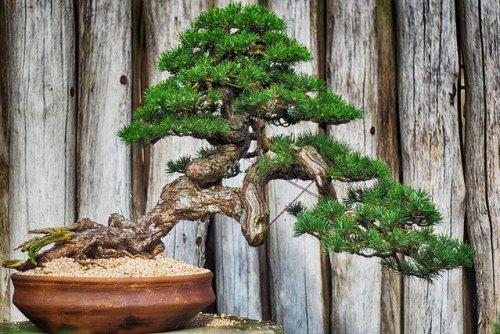 Come fare un bonsai per poter ricostruire la natura che ci circonda