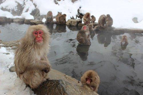 I macachi giapponesi si scaldano nelle acque termali