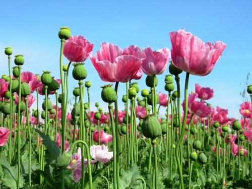 Il papavero da oppio è un fiore alto e rosa