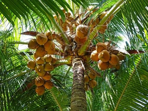La seconda curiosità sulla palma da cocco è che la noce di cocco galleggia
