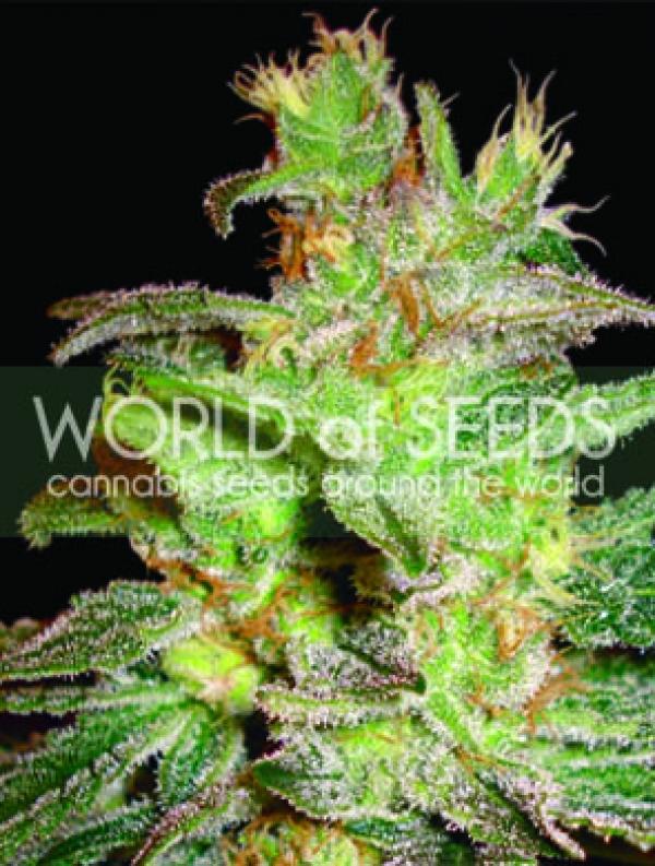 Northern Lights Big Bud Seeds