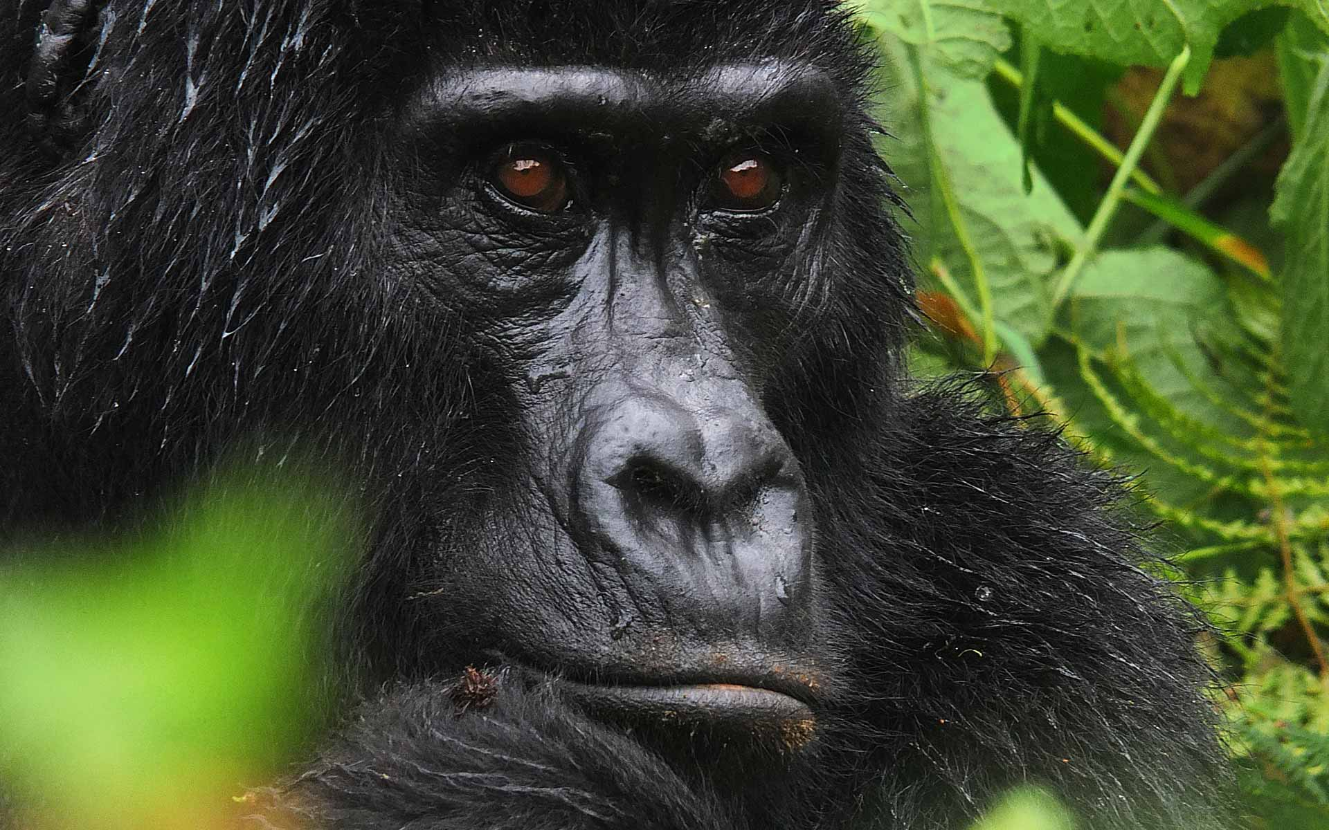 Norbert Klora Photo Gorilla, Uganda, Bwindi National Park