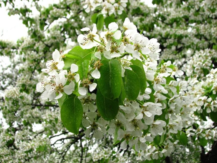 Pear_blossom_(Pyrus)_01
