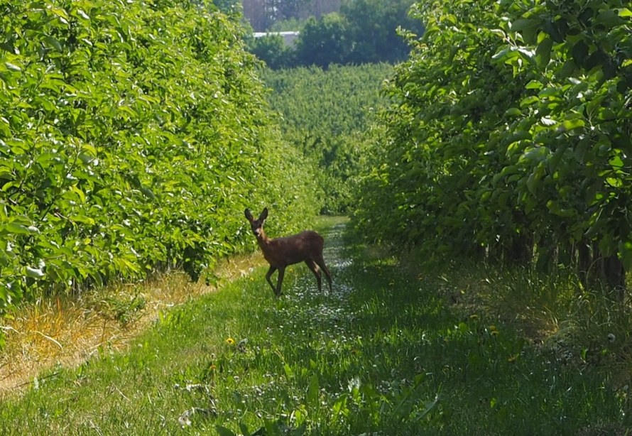 A roe deer among the fruit trees in Loksbergen