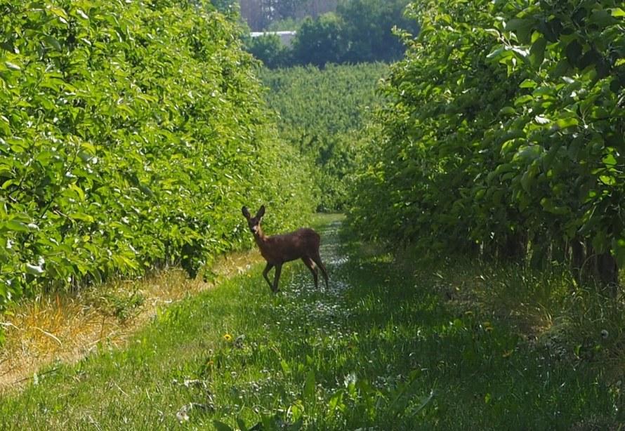 Un chevreuil parmi les arbres fruitiers à Loksbergen
