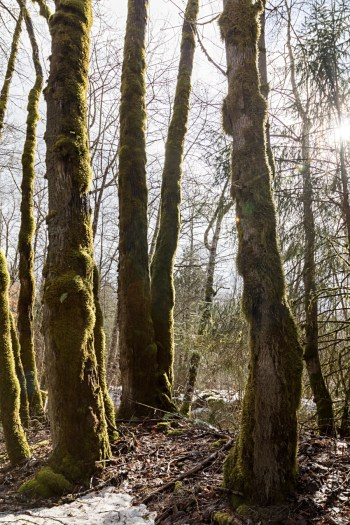 Squamish River Estuary, moss covered trees in forest