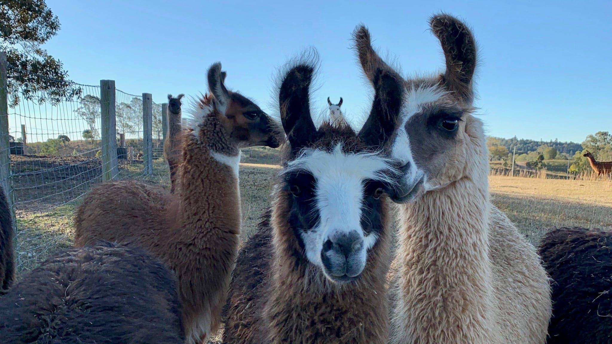 The Llama Farm Discover Ipswich