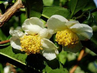 Camellia sinensis, Tea Camellia flowers