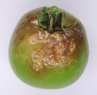 Míldiu en una tomata (Font: discoverlife.org)