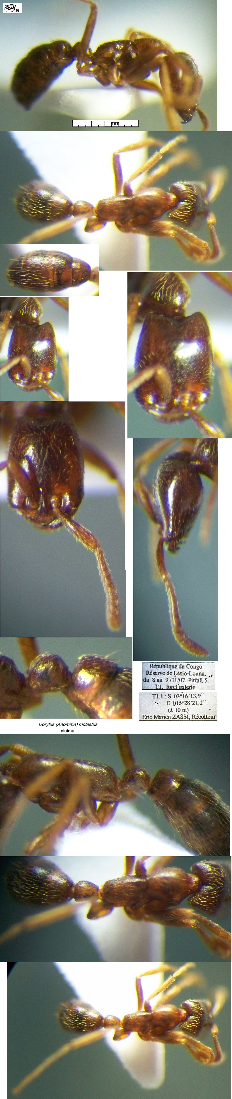 {Dorylus molestus minima}