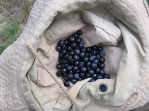 Scrounging blueberries by the hiking trail, Jeseniky mountains, Czech Republic