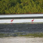 Scarlet ibis hunt on the Caroni Swamp mudflats. Photographer: Caroline Taylor