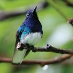 White necked jacobin. Photographer: Stephen Broadbridge