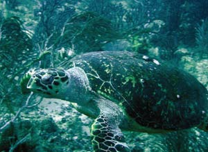 Sea turtle at Japanese Gardens off Speyside. Photographer: Colin S. Davis