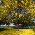 Yellow poui. Photographer: Mark Lyndersay