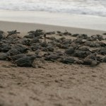 Turtle hatchlings head for the ocean. Photographer: Jason Hagley