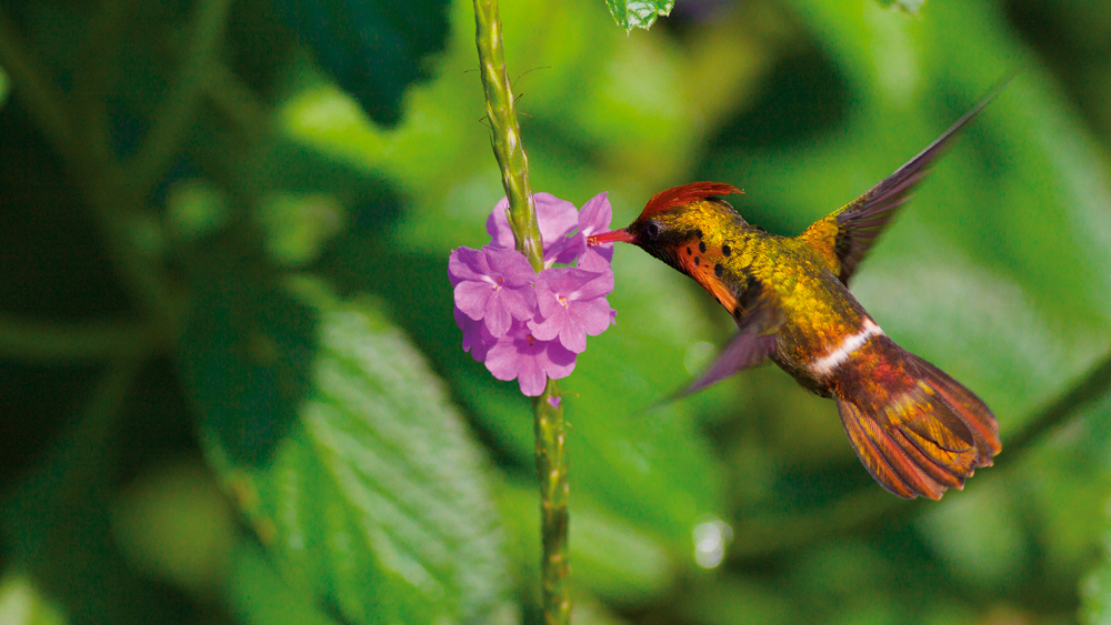 Tufted Coquette Hummingbird. Courtesy Theo Ferguson of Yerette