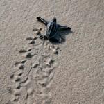 Leatherback turtle hatchling. Photo by Stephen Broadbridge