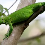 An iguana lizard. Photo by Stephen Broadbridge