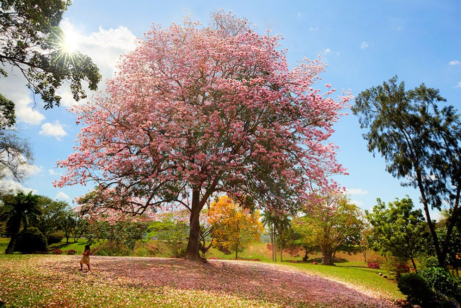 Pink poui in the Queen's Park Savannah, Trinidad. Photo by Chris Anderson