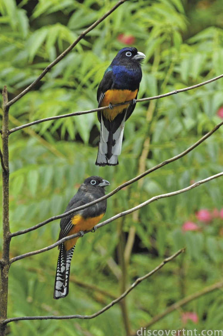 A pair of White-tailed trogons (Trogon chionurus) pose for visitors at Asa Wright Nature Centre. Photo by Rapso Imaging