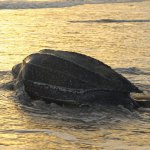 A giant leatherback turtle makes her way back to sea after nesting at Las Cuevas. Photo by Rapso Imaging