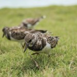 Ruddy turnstones at Blue Waters Inn, Speyside. Photo by Rapso Imaging