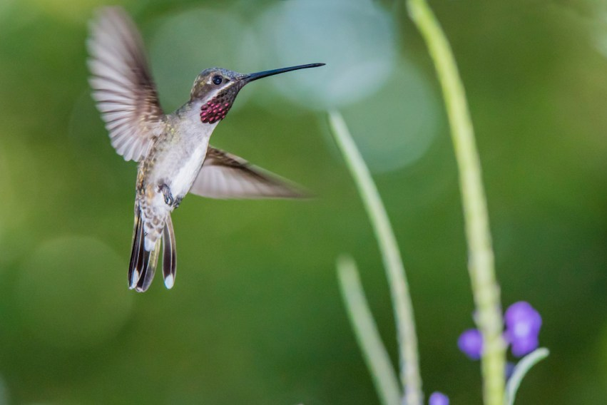 A Long-billed starthroat (Heliomaster longirostris) hovers near a vervine bush at Asa Wright Nature Centre. Photo by RAPSO Imaging