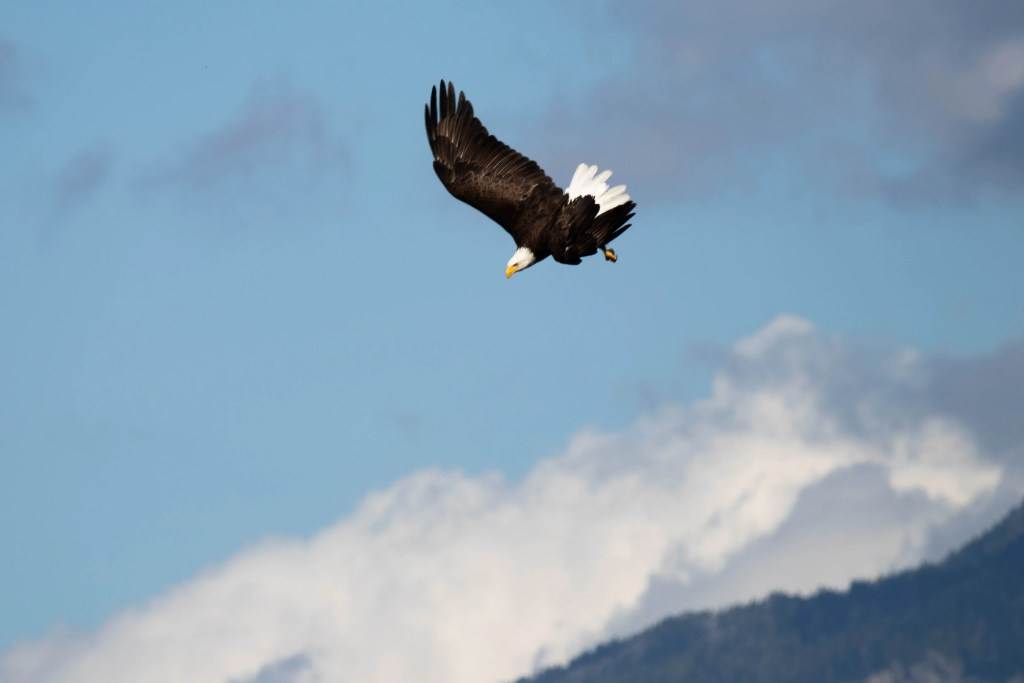 Bald Eagle, Eco Tours, Discovery West Adventures, Whale Watching Campbell River, BC, Brown's Bay Resort