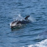 Discovery West Adventures, Whale Watching Campbell River, BC, Brown's Bay Resort, Pacific White-Sided Dolphins