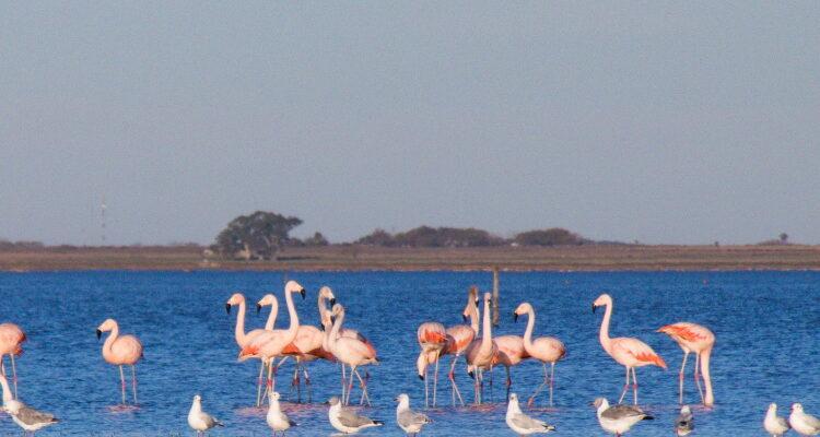 Flamencos en la laguna de Melincue