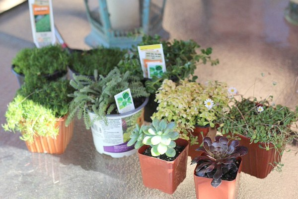 what plants to buy for fairy garden