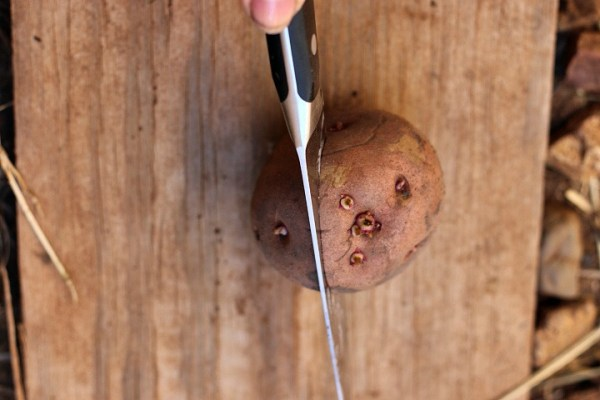 cutting seed potatoes with eyes