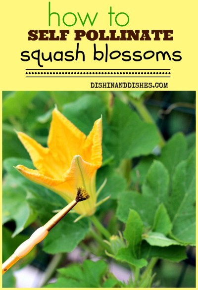 How to Self-Pollinate Squash Blossoms - Dishin & Dishes